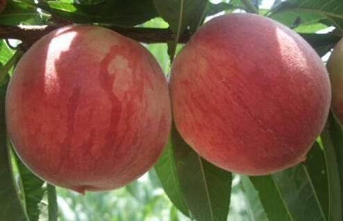 有谁吃����zi$9�+9.9�i_加州早甜桃有谁吃过,味道好吃吗?